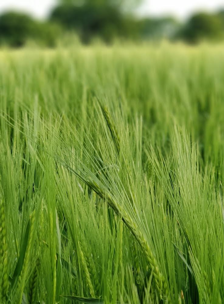 Barley in an Agricultural field