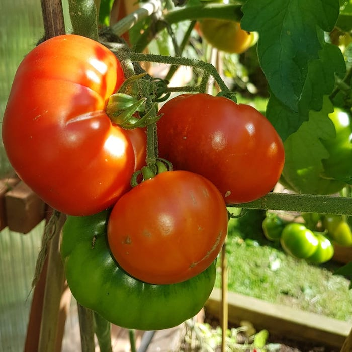 marmande superprecoce tomatoes ripening